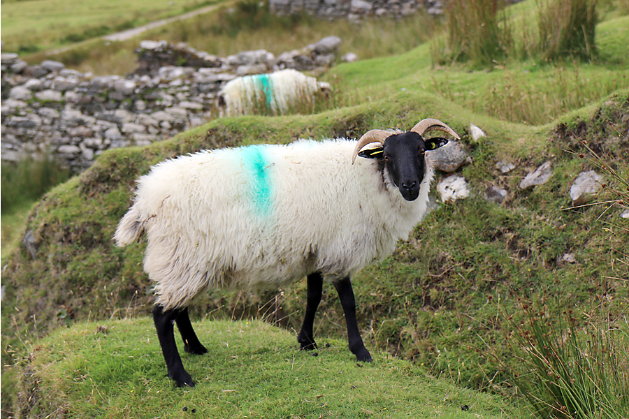 Irish Sheep